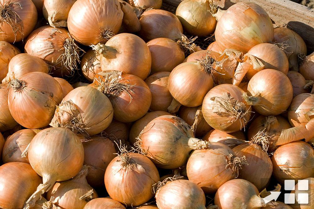 Cipolle