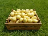 Začátek sklizně raných brambor